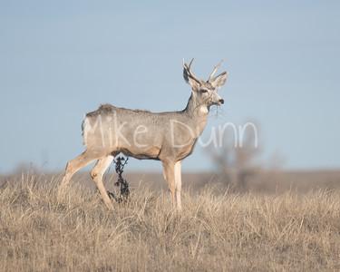 Mule Deer-19