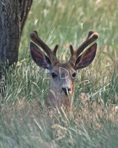 Mule Deer-32