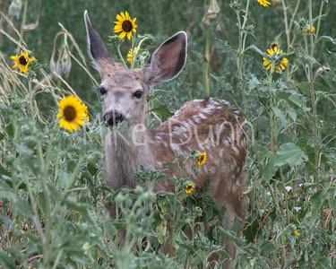 Mule Deer-42