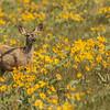 Young Mule Deer Doe In Arrowleaf Balsamroot