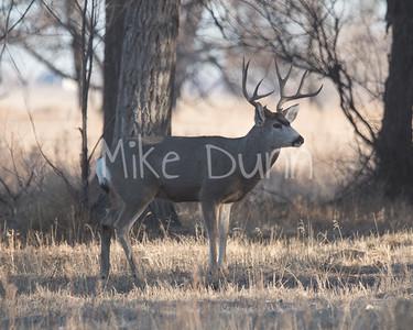 Mule Deer-16