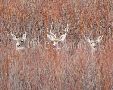 Mule Deer-24