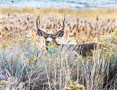 Typical Four Point Mule Deer Buck, Antelope Island