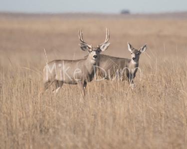 Mule Deer-17