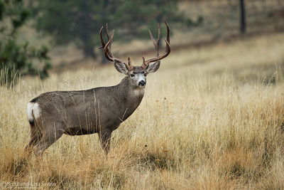 Mule Deer Buck in Rut