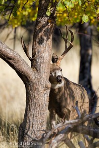 Mule Deer Buck Rubbing