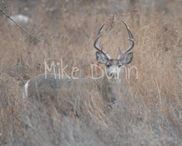 Mule Deer-39