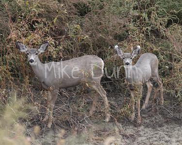 Mule deer-9