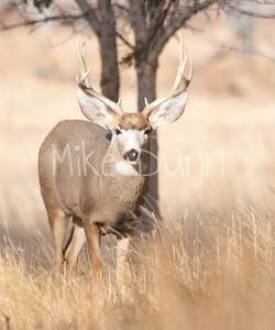Mule Deer-48