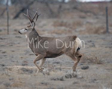 Mule Deer-13