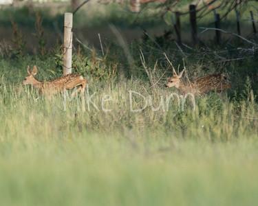 Mule Deer-33