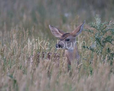 Mule Deer-30