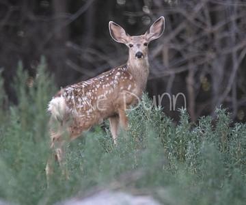 Mule Deer-40