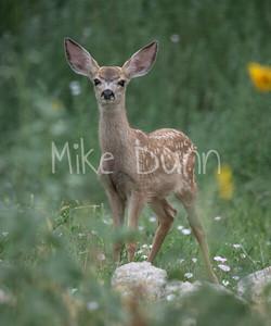 Mule Deer-41