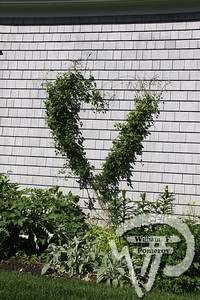 A half-completed heart topiary of clematisis a feature of this small garden. Tickets now on sale for Orleans garden tour photo 2 of 4 WickedLocal.com/CapeCod June 12, 2010COMMUNITY NEWSPAPER COMPANY