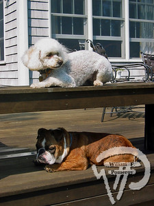 Abigail and Grendel,  cockapoo and English bulldog, Orleans PHOTO PHOTO GALLERY:  Your Cape Cod pet photosphoto 8 of 23 WickedLocal.com/CapeCod October 14, 2009COMMUNITY NEWSPAPER COMPANY