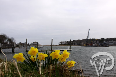 FLOWER POWER Daffodils provide a burst of color  near Allen Harbor.  Harwich Oracle May 1, 2013 front page