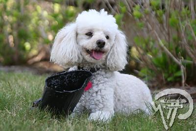 Abigail, cockapoo, Orleans... PHOTO GALLERY:  Cape Cod Pet Gazette 2009photo(s) introduction WickedLocal.com/CapeCod April 24, 2009COMMUNITY NEWSPAPER COMPANY