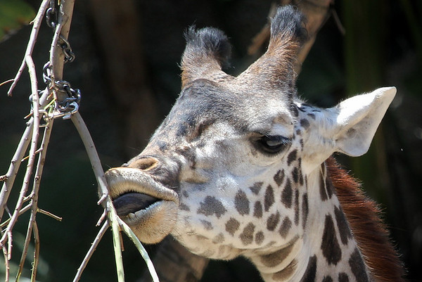 Giraffe at LA Zoo