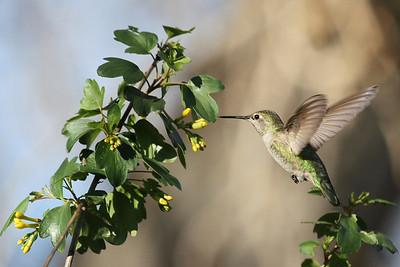 Female Hummong Bird