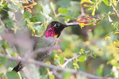 Hummingbird at Gillette Ranch