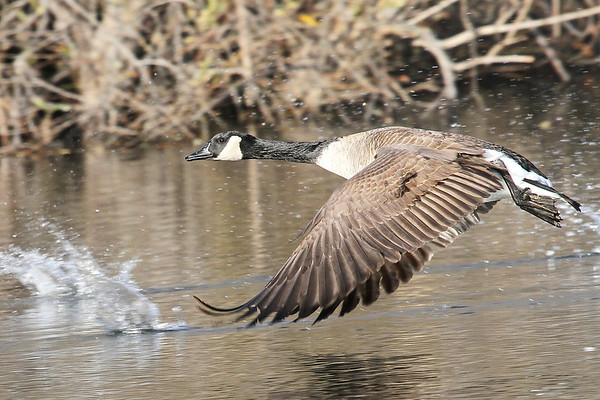 Canada Goose at Wildlife Basin