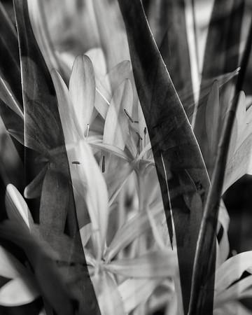 colchium and agave