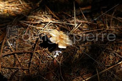 Mushroom / The Adirondacks Collection / 2009 Autumn