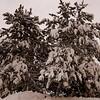 Snowy Pines * Saratoga Park * Saratoga, New York * U.S.A.