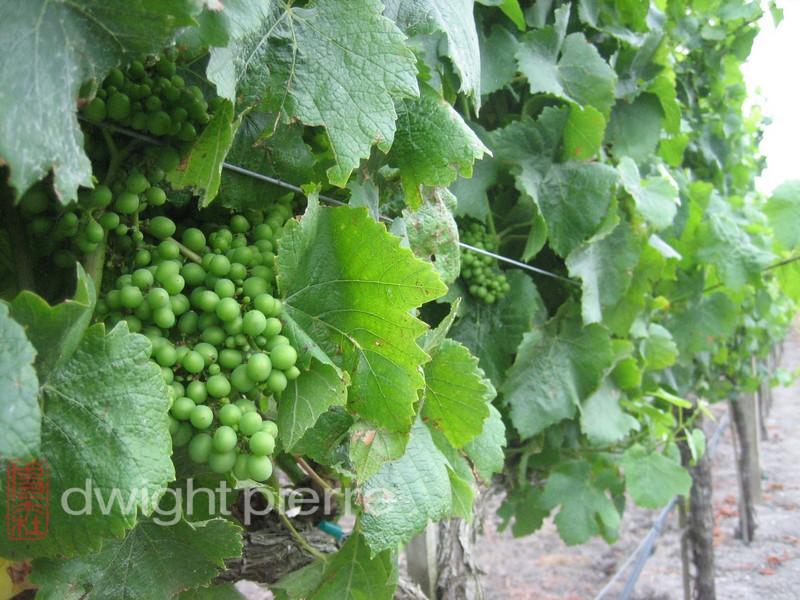 green grapevine closeup