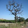 bike rider through the grape vines
