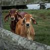 Cows say Moo!