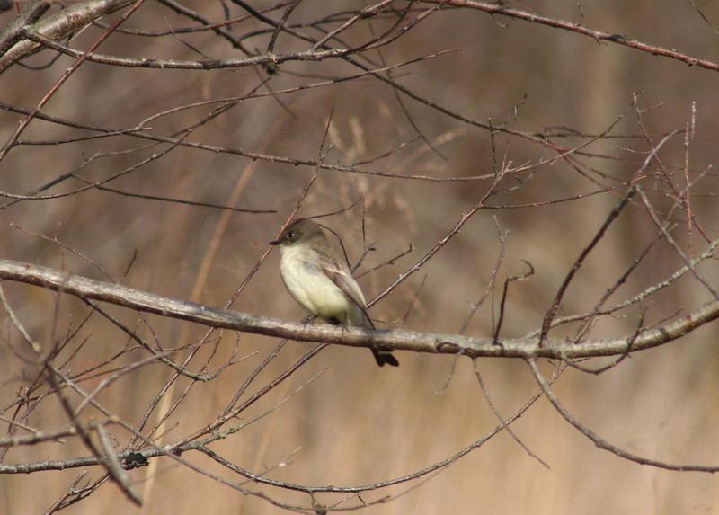 An eastern phoebe lingering in bluebird field along back road.  Seemed to make a couple of captures while I watched.  Snow coming tonight, though.