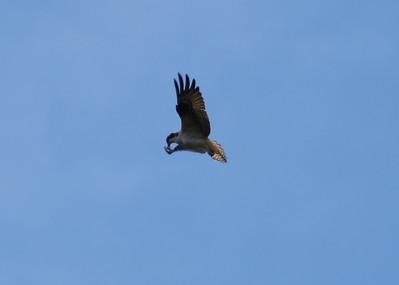 December Osprey, Forsythe 12-1-07
