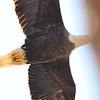 Photo by Kathy Clark of A85 in spring 2006, female eaglet hatched in Nacote Creek island nest, banded there on May 22, 2001.  Took up residence as 5 year old at Mannasquan Reservoir and apparently has been in resident, and succeeding ever since. The Nacote Creek eagles are her parents; the chicks in the Mannasquan Reservoir nest are their grandchildren.   Photo used by permission by Kathy Clark.