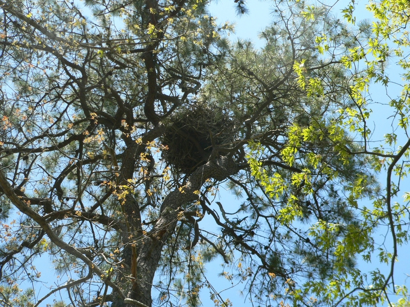 The nest in a tall pitch pine is now 8 years old and big -- because they add more sticks to it each year.  (They used a different nest at different site 1996-1997.)