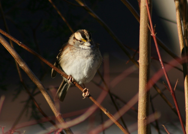 White-throated sparrow in backyard, 12-9-06