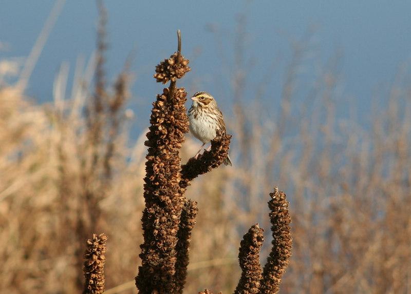 Savannah sparrow on mullein head, South Dike, Forsythe NWR, 12-3-06.