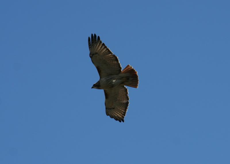 Bird #1: seen on several field trips