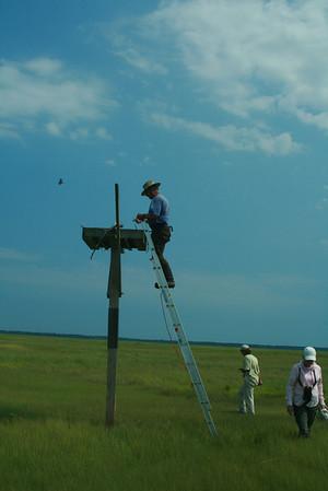 Osprey Banding on Great Egg 6-28-12