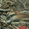 One of the three chicks playing possum in the final nest.
