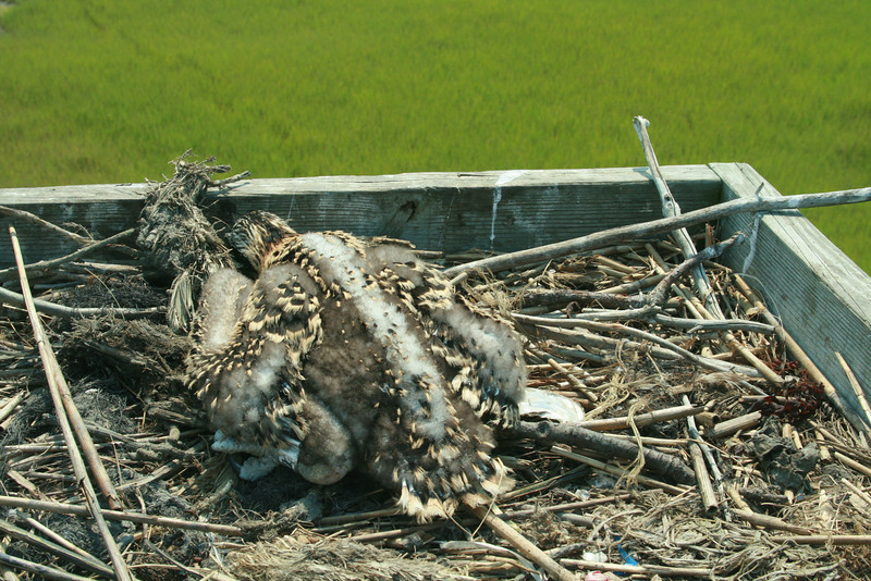 "The chick hides its head in osprey chick style:  ""I won't look at you, so you can't see me!""  Note the silver band on left leg."