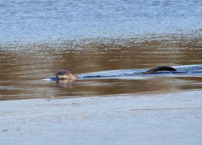 Otter & RN Grebe, Tuckerton Lake