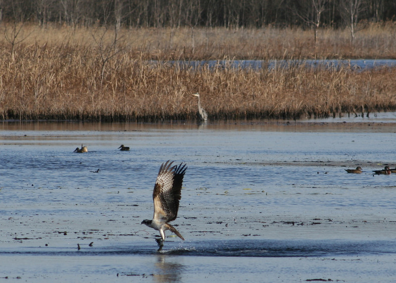 "This photo is from Doughty Creek on 12/1/07.  Apparently, this is the individual that survived the whole winter in NJ.  Other blurry photos from that day are available <a href=""/gallery/3919141_29VMr#227476764""> here.</a>"