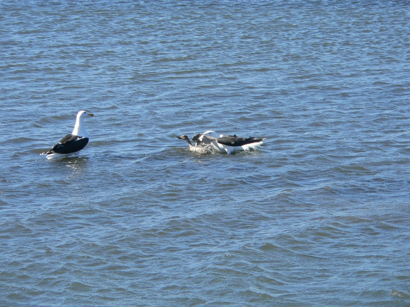 The two great black backs worked together, taking turns pushing the pintail under the water.