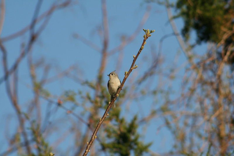 Species #1, an early singer. Can you ID -- and then sing its song to your best friend to prove your expertise?