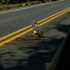 Species #11 scavenging, as they do sometimes -- here a rabbit killed by a car.