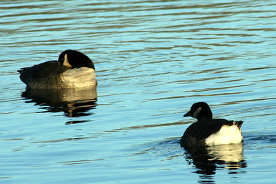 Odd, small goose in Tuckerton
