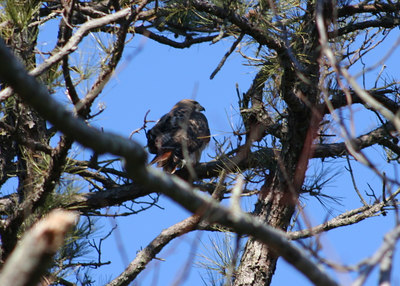 Red-tails & Nest