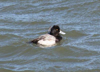 Scaup species Barnegat Inlet Feb 24 07